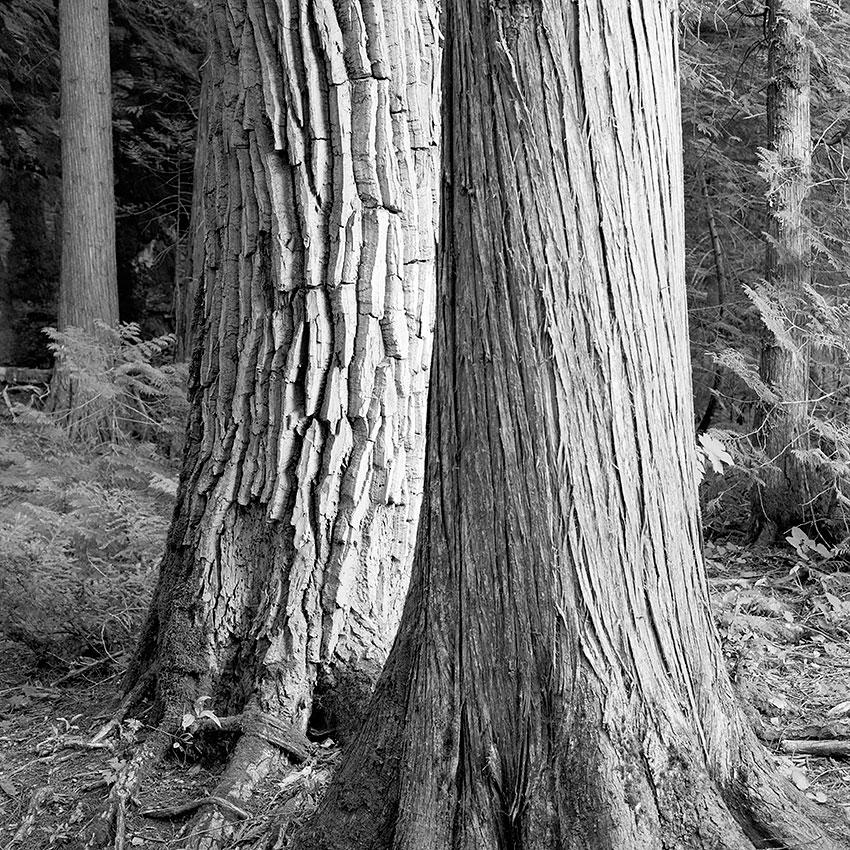 Photo 22 – Cedars