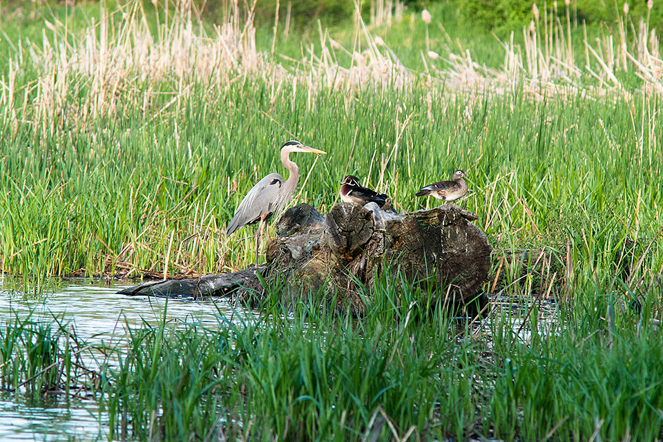 Great Blue Heron and Wood Ducks