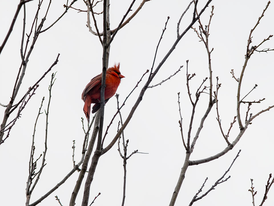 A northern cardinal by Ting-Li Lin