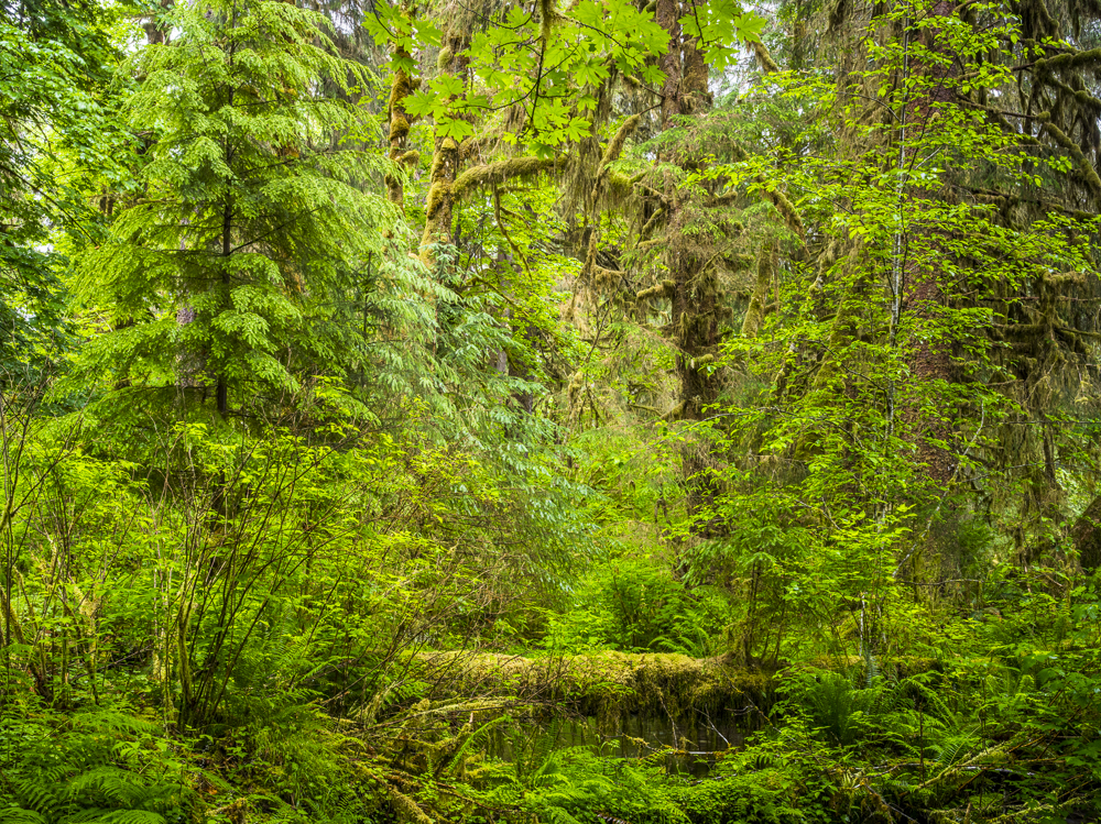 Hoh Rainforest #1